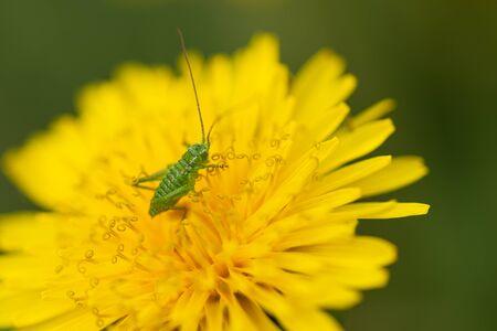 Close-up green grasshopper larva on yellow dandelion flower. Blurred background. 写真素材