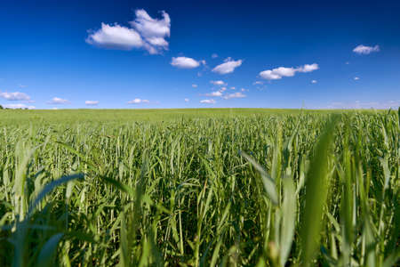 View of a green field under a blue sky with clouds. Horizontal view. In the foreground, close-up of plant stems. The background is partially blurred.