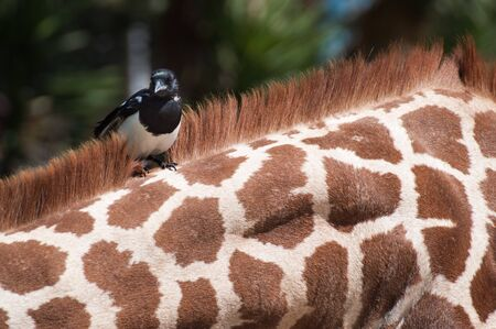 magpie resting on top of a giraffe