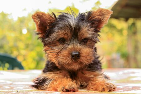 Closeup of baby Yorkshire terrier puppy outside. Front portrait and detail of young and cute Yorkie pup, playing outside with blurred background.