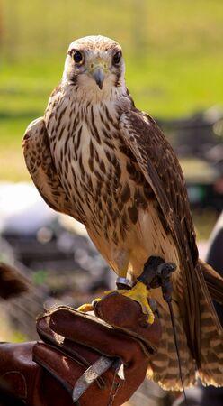Trained common kestrel (Falco tinnunculus) on hawking glove