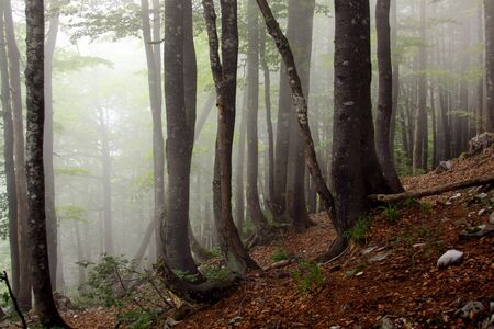 Fog in humid beech forest in summer, in Apuseni Mountains Archivio Fotografico