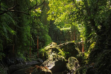Dense equatorial vegetation with tall lush tropical rainforest trees and liana hanging, with warm sun rays Banco de Imagens