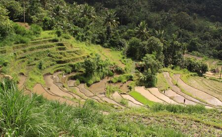 People working on rice fields in valley in Bali, Indonesia. Rice crops on hill, before harvest in a rice paddy agriculture