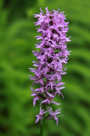 Common spotted orchid in Transylvania Romania. Dactylorhiza, commonly called marsh orchid or spotted orchid, is a genus of flowering plants in the orchid family