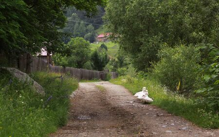 White ducks on country unpaved road in a village in Transylvania, Romania