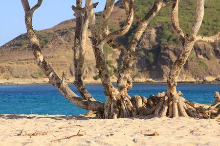 Scenic palm trunk and roots on Kuta beach, Lombok. Kuta Lombok is an exotic paradise on the Indonesian island, with beautiful white sand beaches and crystal clear turquoise waters.