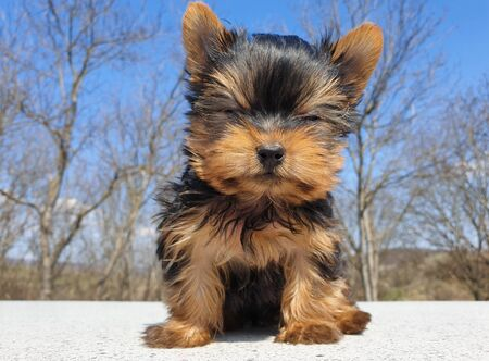 Closeup of playful baby Yorkshire terrier puppy outside. Front portrait and detail of young and cute Yorkie pup, playing outside with blurred background. Closed eyes