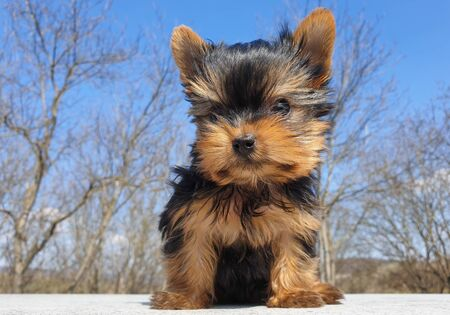 Closeup of playful baby Yorkshire terrier puppy outside. Front portrait and detail of young and cute Yorkie pup, playing outside with blurred background. Imagens
