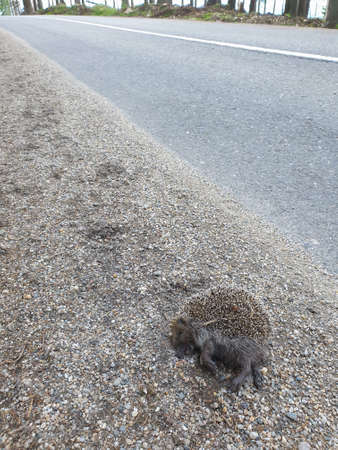 Dead wild hedgehog killed by car in nature. Roadkill animal victim of traffic in natural environment. Dead wildlife as consequence of overpopulation. Stock Photo