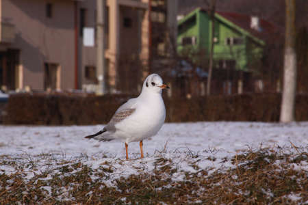 Black-headed gull walking in Cluj city in winter. Wild bird in cold winter on cold freezing ground covered in snow.