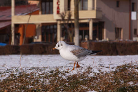 Little gull searching for food in winter with snow. Wild bird in cold winter on cold freezing ground covered in snow.