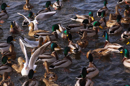 Winter feeding frenzy with ducks and small gulls. Ducks and little gulls eating in winter on river. Wild birds in cold winter on cold freezing water surface. Stock Photo