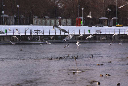 Winter birds flying in Cluj-Napoca, in cold winter. Wild birds in cold winter on cold freezing water surface. Stock Photo