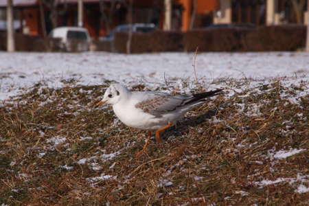 Little gull searching for food in cold winter. Wild bird in cold winter on cold freezing ground covered in snow.