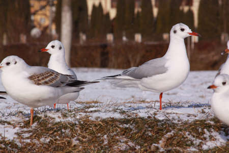 Black-headed gulls in cold winter on river bank. Wild bird in cold winter on cold freezing ground covered in snow.