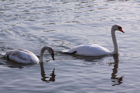 Long necked white swans floating on river surface. Wild birds in cold winter on cold freezing water surface. Stock Photo