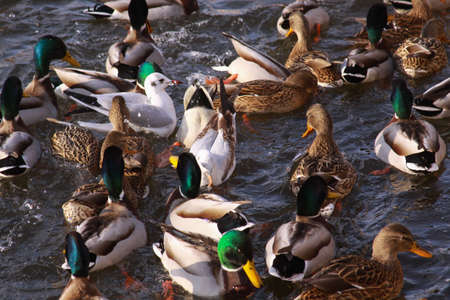 Ducks and little gulls eating in winter on river. Winter feeding frenzy with ducks and small gulls. Wild birds in cold winter on cold freezing water surface. Stock Photo