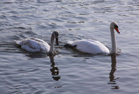 Two white swans on river surface in the city. Wild birds in cold winter on cold freezing water surface.
