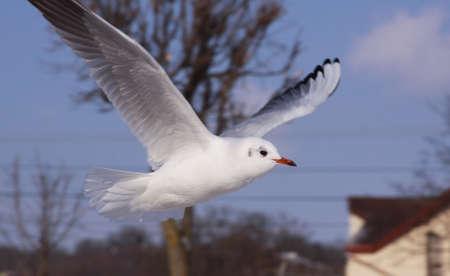 Black-headed gull in flight in cold winter in city. Wild bird in flight in cold winter. Flying black-headed gull in the air