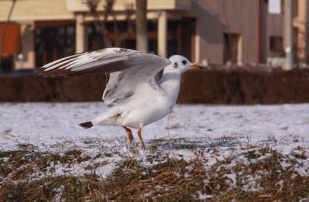Small seagull with opened wings on the ground. Wild bird in cold winter on cold freezing ground covered in snow.