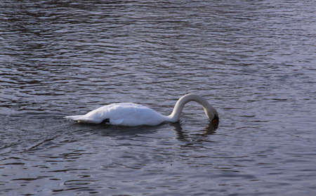 Single white swan river surface looking for food. Wild birds in cold winter on cold freezing water surface.