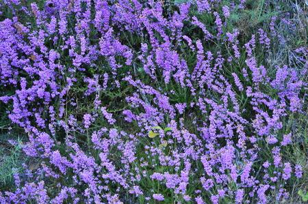 Malva Flowers In Rebedul Meadows In Lugo. Flowers Landscapes Nature.  Rebedul Becerrea Lugo Galicia Spain.