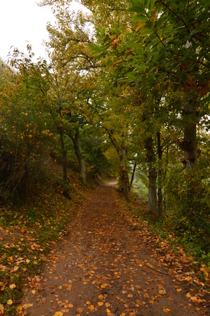 Tetric Road Through A Forest Of Chestnut Trees In A Day With A Lot Of Fog In The Medulas. Nature, Travel, Landscapes. November 3, 2018. The Medulas. Lion. Spain.