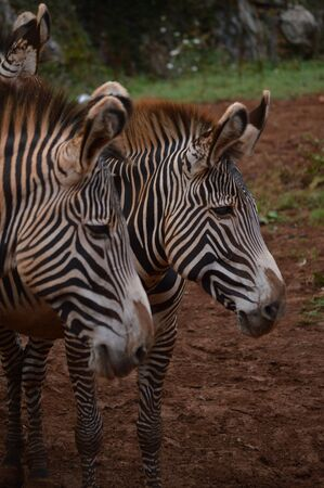 Portrait Of A Beautiful Couple Of Zebras In The Natural Park Of Cabarceno Old Mine For Iron Extraction. August 25, 2013. Cabarceno, Cantabria. Holidays Nature Street Photography Animals Wildlife Stock Photo