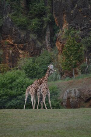 Portrait Of A Couple Of Giraffes Kissing With Their Collar Intertwined The Natural Park Of Cabarceno Old Mine For Iron Extraction. August 25, 2013. Cabarceno, Cantabria. Holidays Nature Street Photography Animals Wildlife
