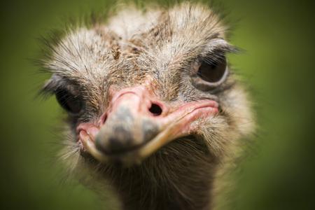 Portret van een struisvogel die recht naar de camera kijkt met een groen veld onscherp als achtergrond