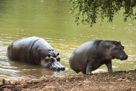 hippopotamus helping his calf to leave a lake of green water Stock Photo