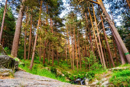 spring landscape of the pine forest of valsain, when the plants begin to sprout and acquire a beautiful green, which contrasts with the brown of the bark of the tall and straight pines in the center of the photograph is the stream that gives them all to drink