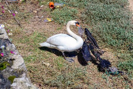 vindictive photography, of how badly we treat our environment, we can see how a precious swan has to live with the garbage that we throw anywhere