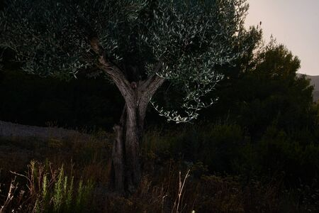 olive tree in the dark of the mount The darkness of the mount