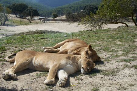 Lionesses sleeping in the sun after the hunt. Mother nature