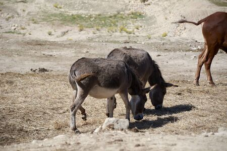 Donkeys eating in the large dry esplanade. Mother nature Imagens