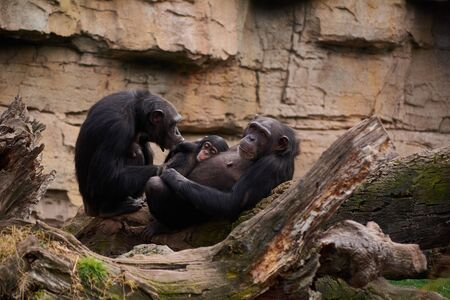 Two female chimpanzees caring for young, mother's love, large tree trunk, monkeys