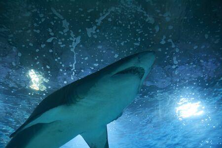 Great lone shark in the ocean great teeth, blue, rocks Standard-Bild