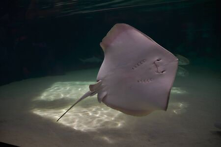 Stingray, in the ocean, surrounded by fish, aquarium