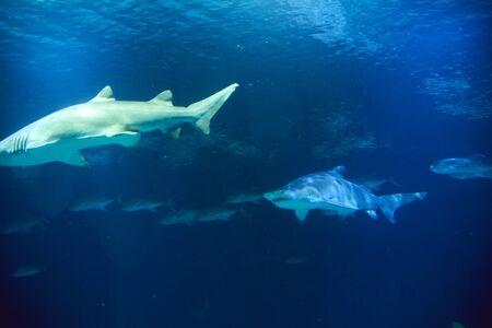Great lone shark in the ocean great teeth, blue, rocks Stock Photo