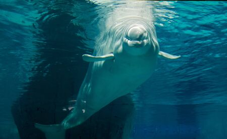 Lonely Beluga in the ocean, friendly face ,white