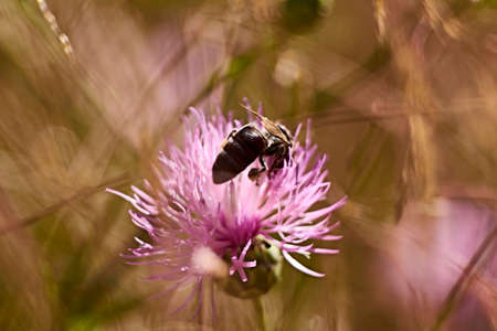 Bee on pink flower eating pollen, macro photography, details, colorful 스톡 콘텐츠