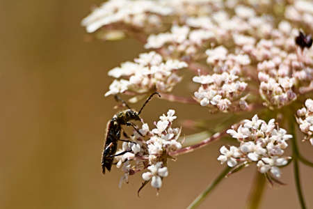 Insect eating pollen on white flowers, macro photography, details, black,