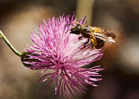 Bee on pink flower eating pollen, macro photography, details, colorful Imagens