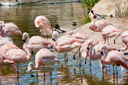 Group of flamingos on the lake shore, birds, resting, sunny day