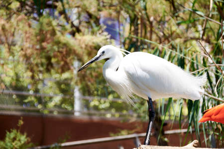 Great Egret observing on top of a branch, white, black beak, green, sunny