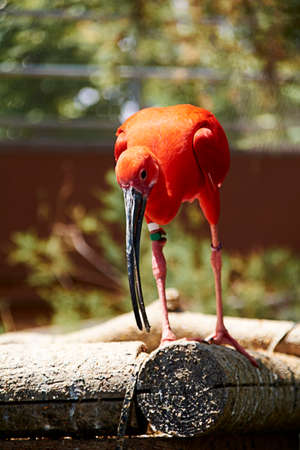 Scarlet ibis eating a small fish, colorful, wood, green Фото со стока