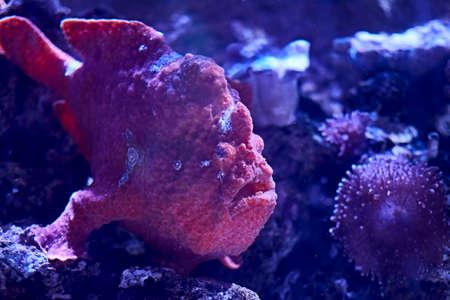 Rhinophias fish swimming in the ocean, red, sand, algae