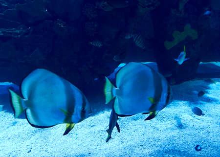 Golden fin fish swimming in the sea, rock, illuminated, blue